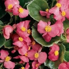 Macintosh HD:Users:sarinavetterli:Desktop:Plant and Granola Sale:Plant Images:Wax Begonias.jpg