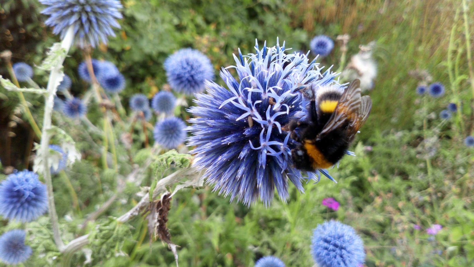 A bumblebee crawling across a blue flower.