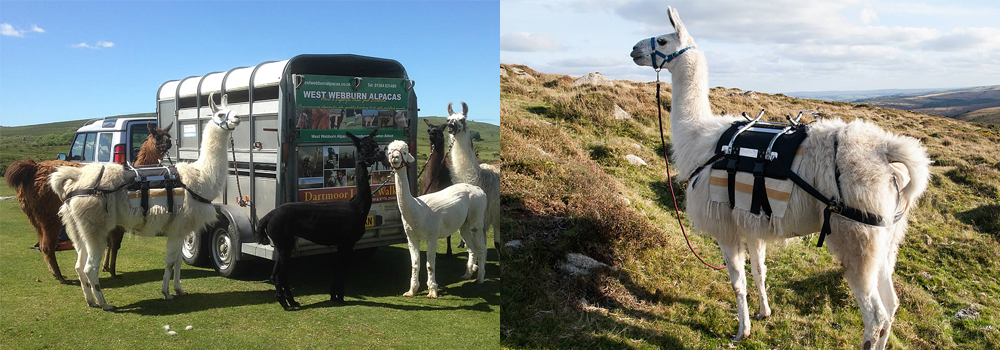 The Dartmoor Llama walking company is an amazing day out where you get to explore Dartmoor.