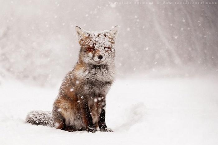 Những hình ảnh đẹp nhất về cáo đỏ - Loài cáo lớn nhất thế giới 2