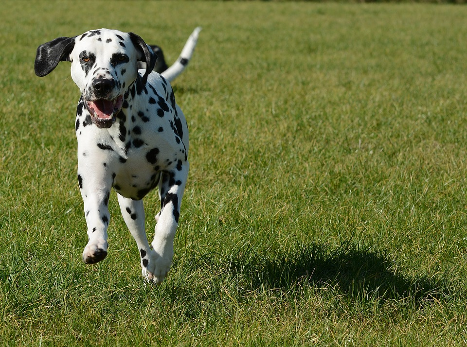 dalmation running energetically