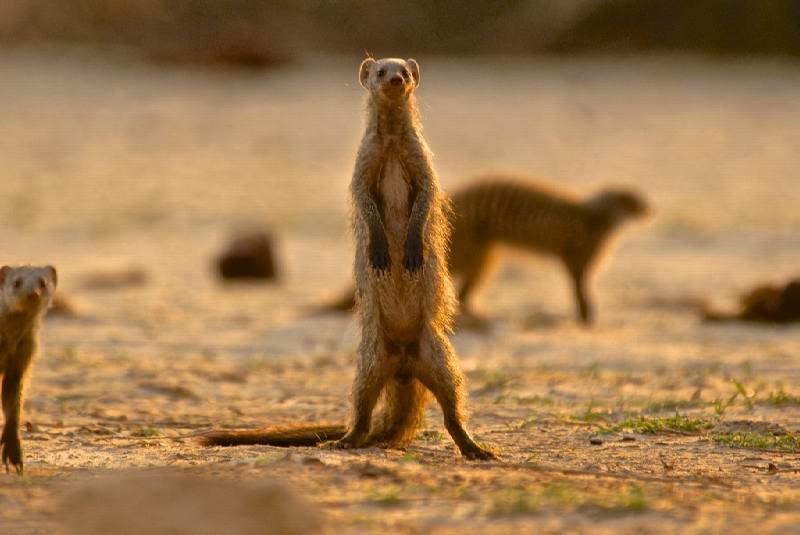 90 - Imvelo Safari Lodges - Bomani Tented Lodge - Banded mongoose on patrol.jpg