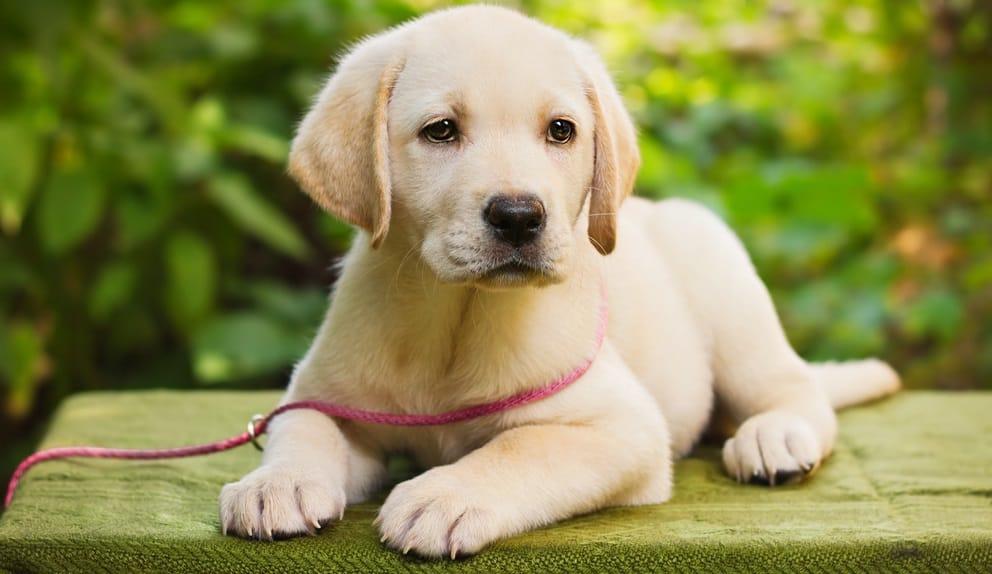 feed labrador puppy