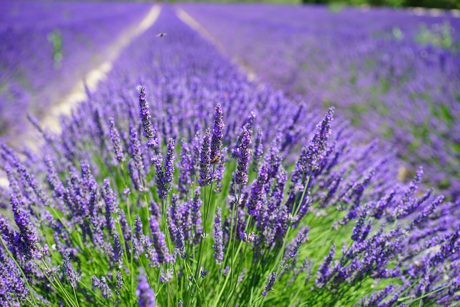 Essential Oils 101 Lavender Her Campus