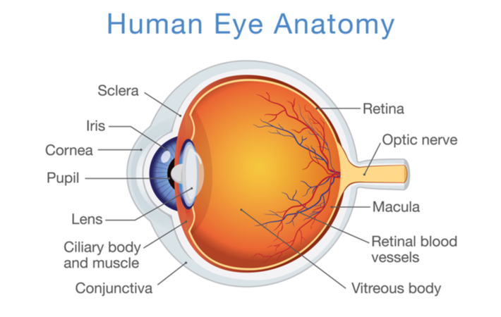 a labeled diagram of human eye anatomy