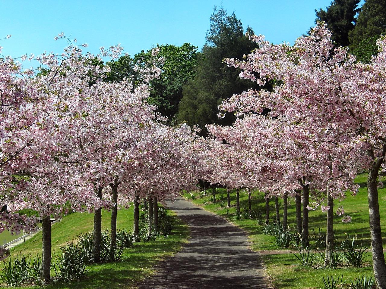 cherry-blossom-1166835_1280.jpg