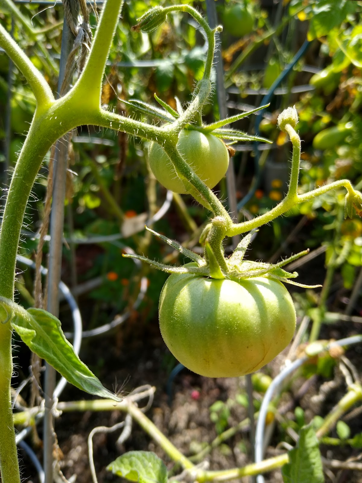 tomatoes grown from seed picture