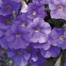 Macintosh HD:Users:sarinavetterli:Desktop:Plant and Granola Sale:Plant Images:Supertunia blue.jpg
