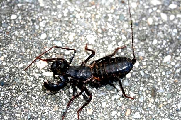 http://drkaae.com/InsectCivilization/assets/Chapter_3_Scorpions_Whiptails_Harvestmen_files/image017.jpg