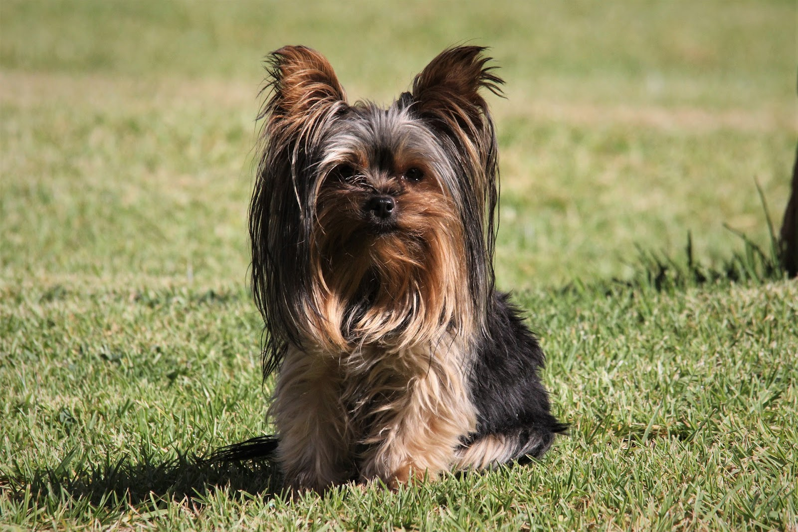 What Is the Best Haircut for a Yorkie?
