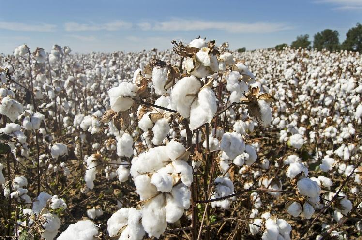 A picture of organic cotton fields that are expensive to run. One of the reasons why is ethical clothing so expensive