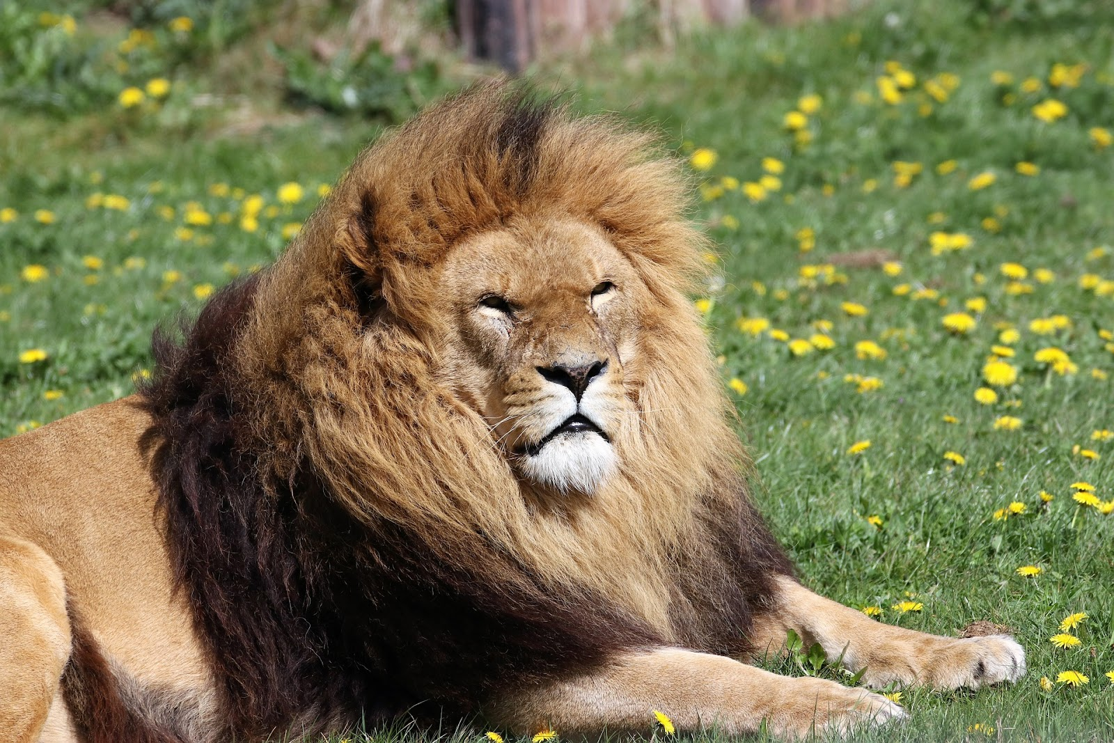 lion-2242364_1920.jpg