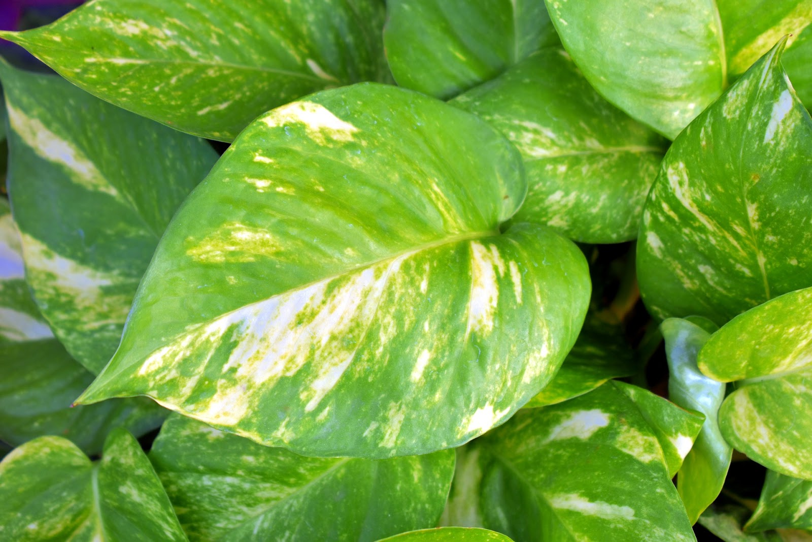 Devil's ivy money plant