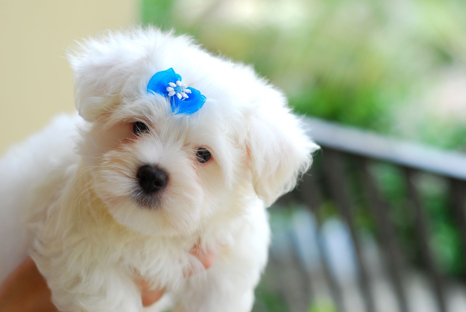 File:Maltese puppy blue bow. ...