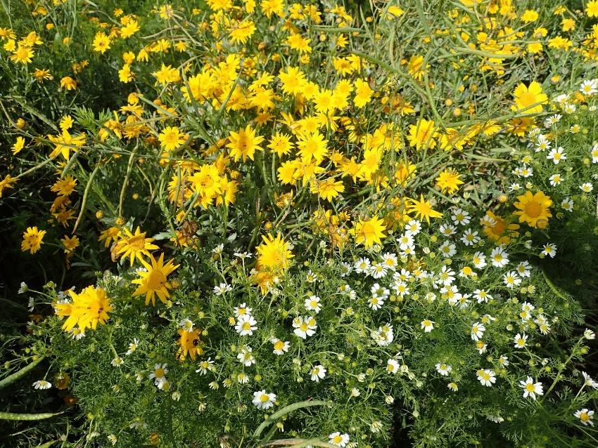 A patch of Corn Marigold and Stinking Chamomile, both Vulnerable arable plants