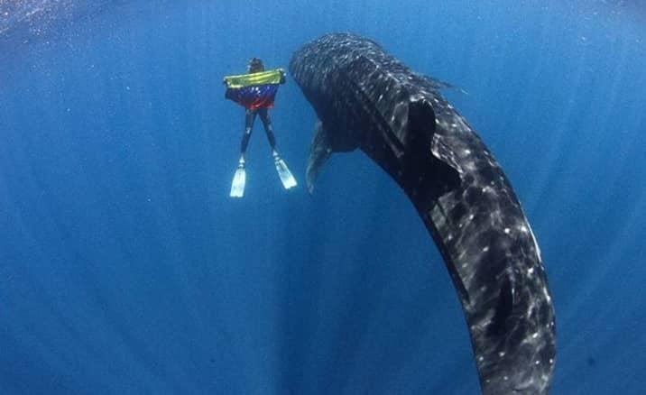F:tiburon ballena.jpeg