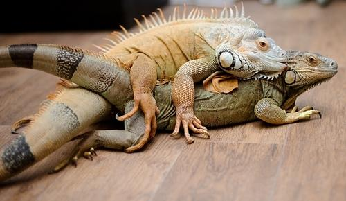 Image result for green iguanas mating
