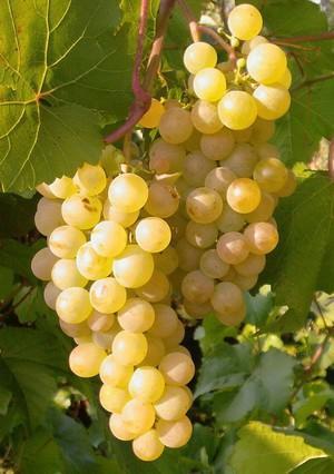 Картинки по запросу виноград бианка