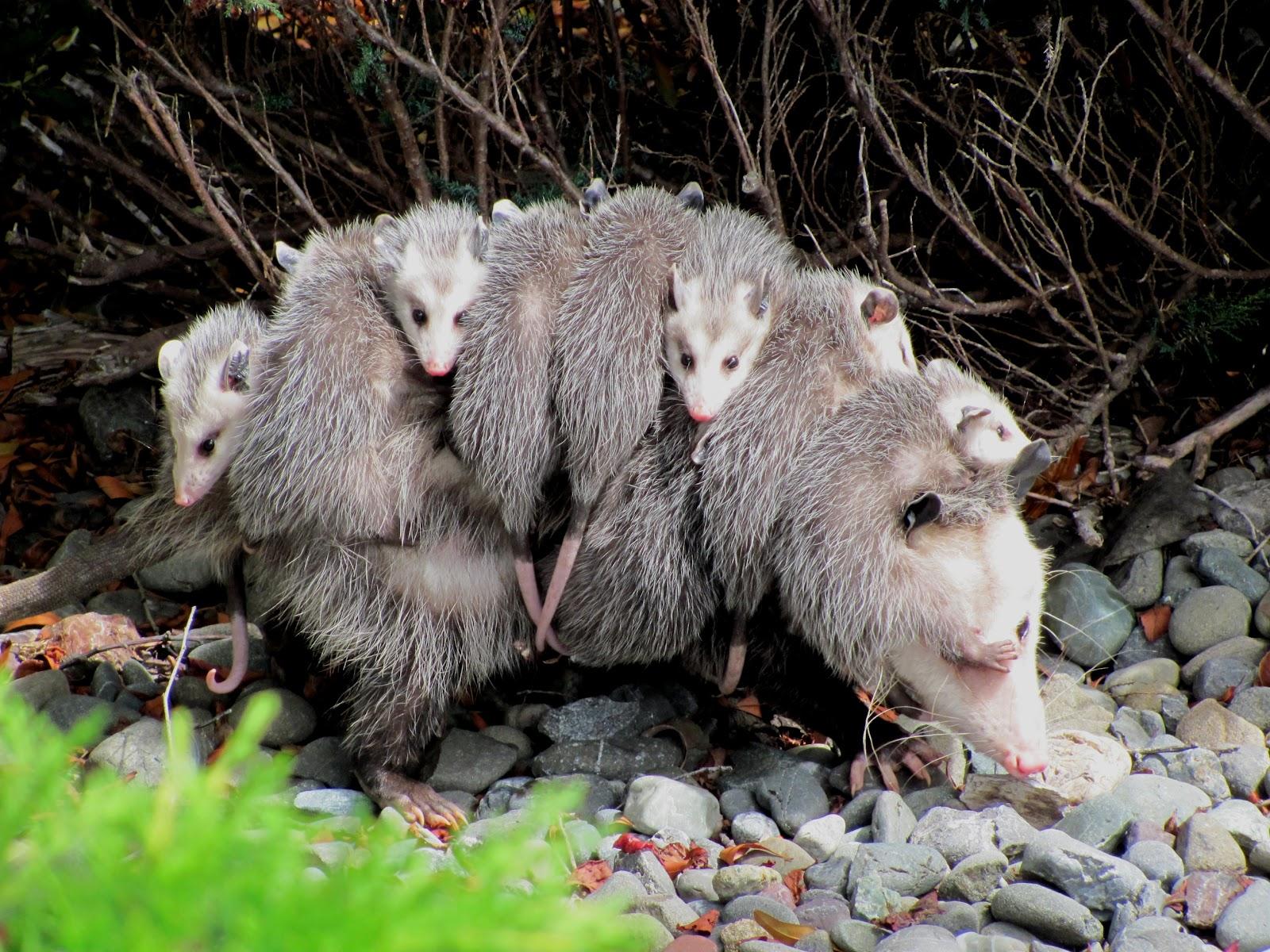 Image result for possums eating birds