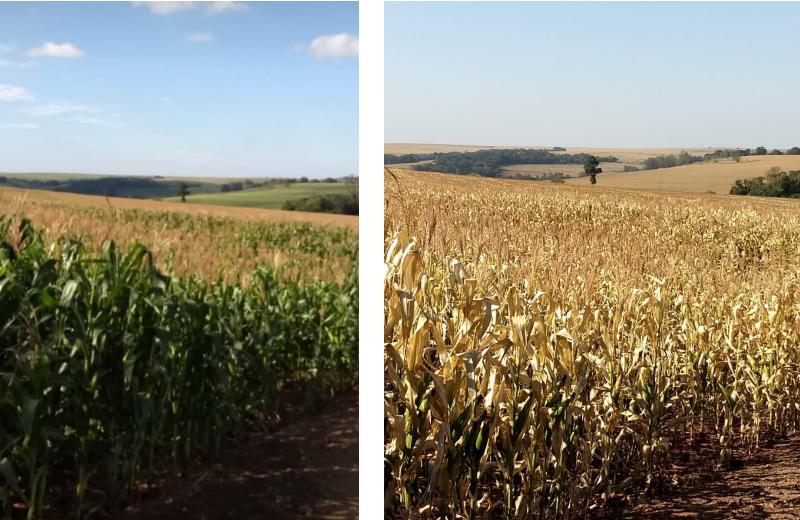 Lavoura de milho safrinha (segunda safra) antes e após a geada