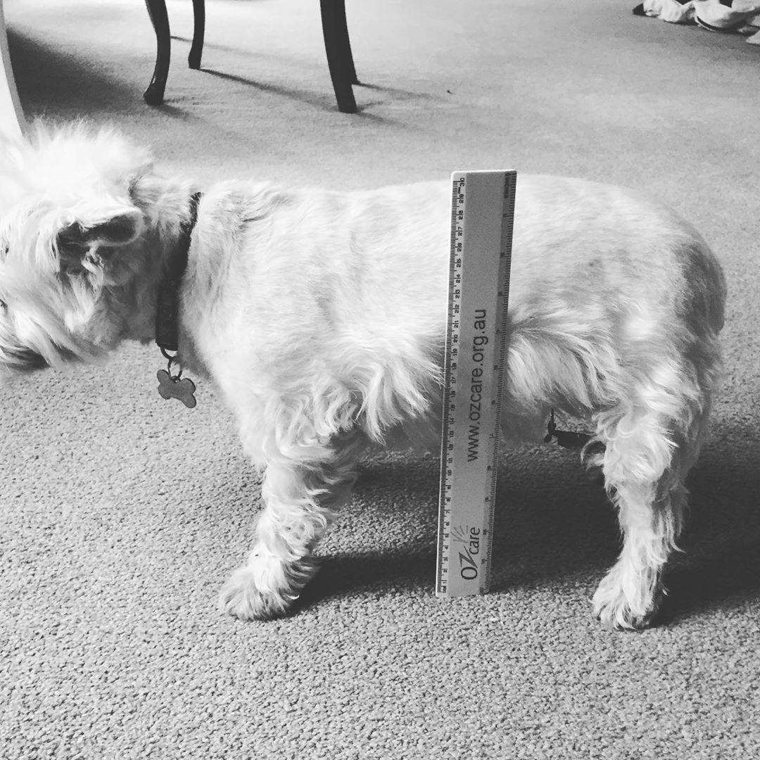 measuring dog