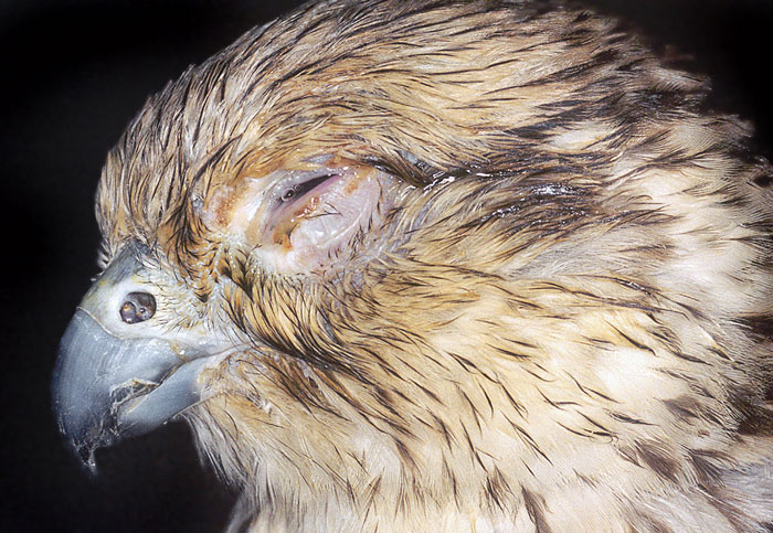 Severe sinusitis and associated conjunctivitis in a saker falcon
