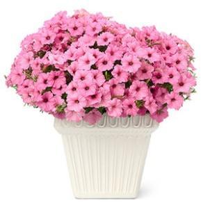 Image result for petunia vista bubblegum