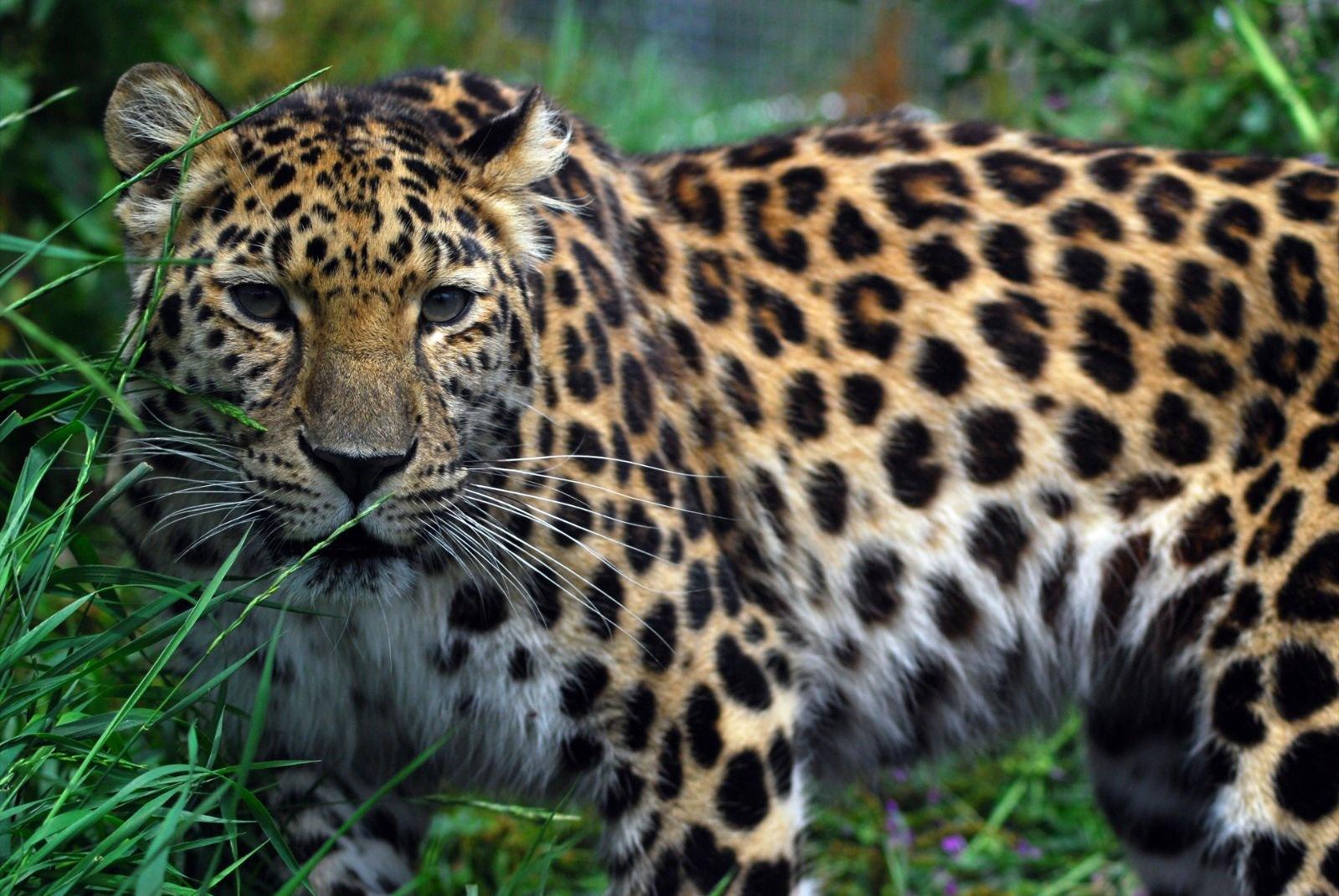 Amur leopard - Amur leopards Photo (33690014) - Fanpop