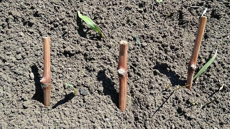Особенности посадки черенков винограда в грунт