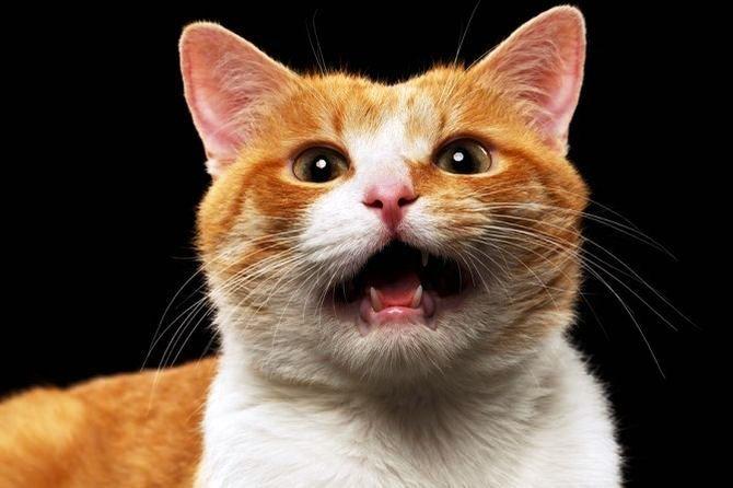 Warum schreit die Katze nachts