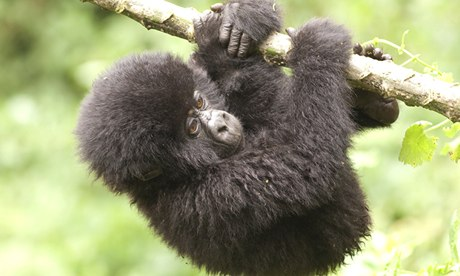 Image result for baby mountain gorillas