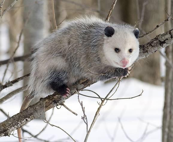 File:Opossum 2.jpg