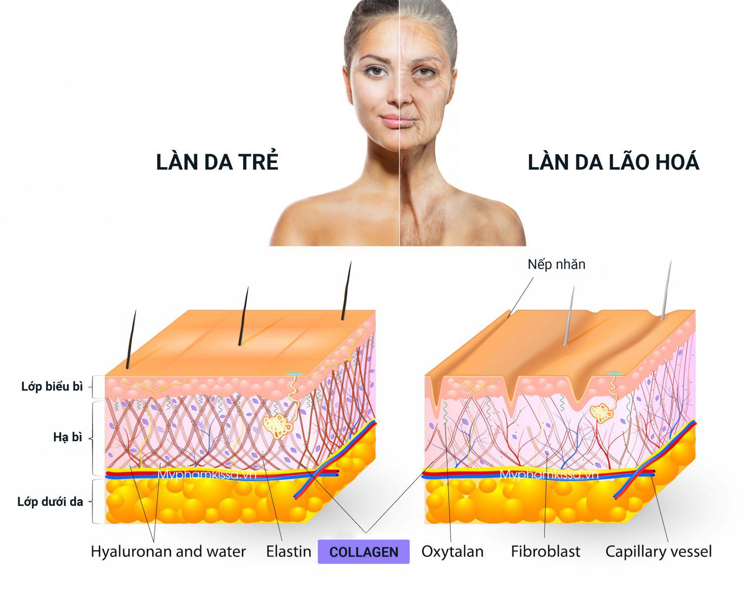 Collagen và tác dụng thần kỳ đối với cơ thể