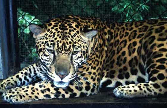 Male jaguar (Panthera onca).