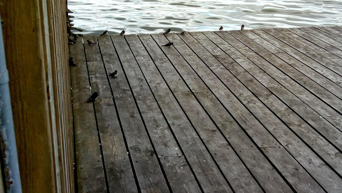 Swallows resting on the wood