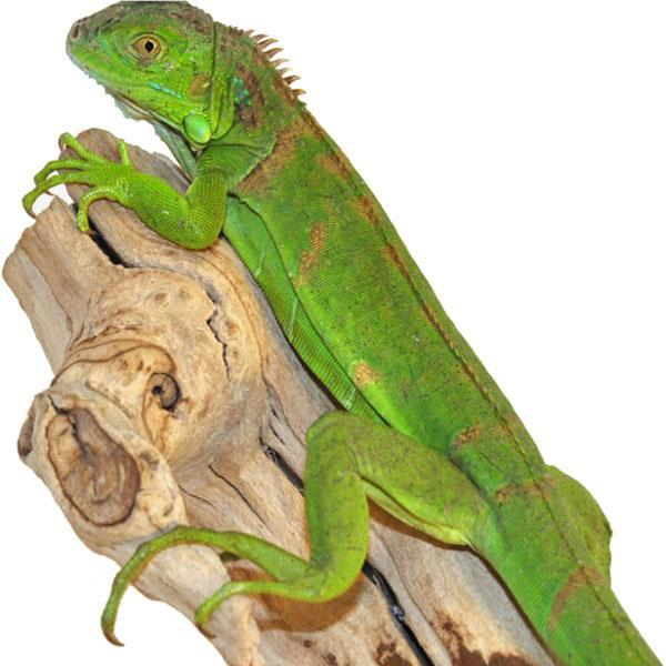 Image result for green iguanas