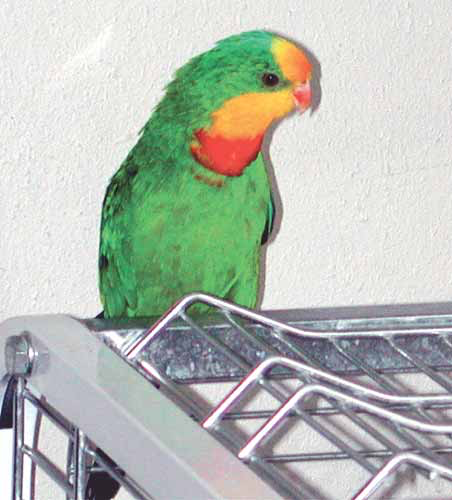 Small Australian parrots, including the superb parrot (Polytelis swainsonii), are usually viewed as aviary birds. However, if an individual is hand-raised in a family environment, it can be a good pet