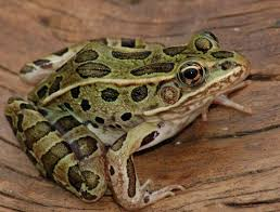 Northern Leopard Frog: The northern leopard frog is a species of ...