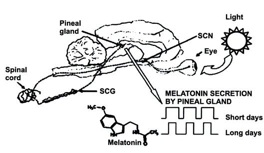 Regulation of pineal gland melatonin secretion by photoperiod: schematic sagittal view of a sheep's eye and brain. Light is perceived by the eye's retina (i. e., photic information is converted into neural information). Neural information generated in the retina is transmitted to the suprachiasmatic nuclei (SCN). Connections from the suprachiasmatic ganglia (SCG) reach the spinal cord. Spinal neurons send the information to the anterior cervical ganglion (ACG). Postganglionic SCG neurons send neural paths to the pineal gland, where neural information is converted into hormonal information (high melatonin secretion levels during dark hours) (image from: Maeda KI, Lincoln GA. Phase shifts in the circadian rhythm in plasma concentration of melatonin in rams induced by 1-hour light impulse. J Biol Rhythms 1990; 5:97-106).