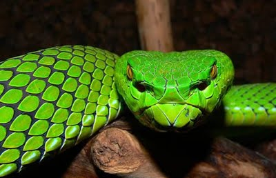 http://4.bp.blogspot.com/_U6R4N6aJNLU/SyaKA3NM9UI/AAAAAAAAFXE/n22VCDgqMqM/s400/Green-Animals-Snake.jpg