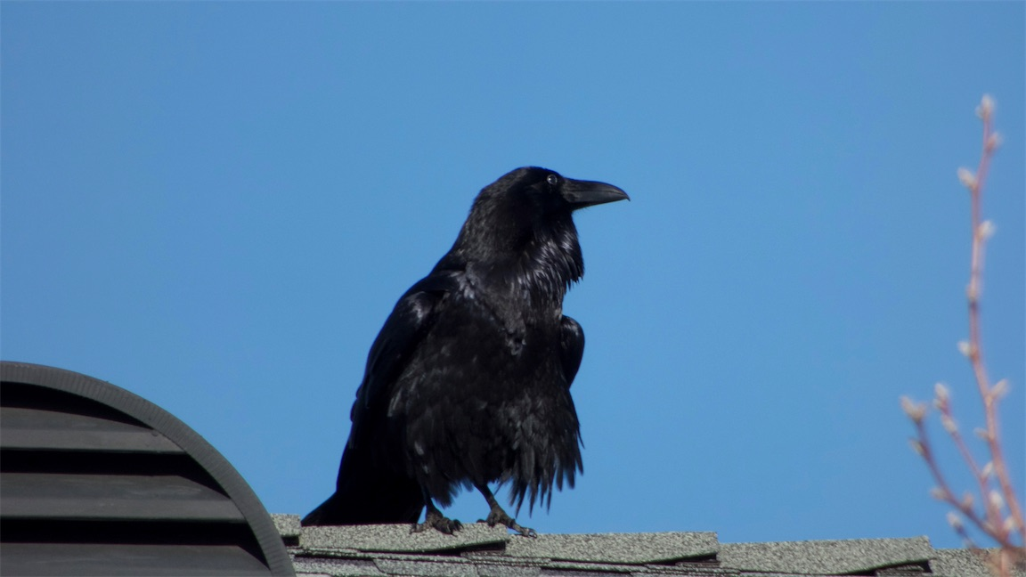 Baby Raven 2.jpg