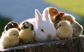Rabbit sorrounded by chicks