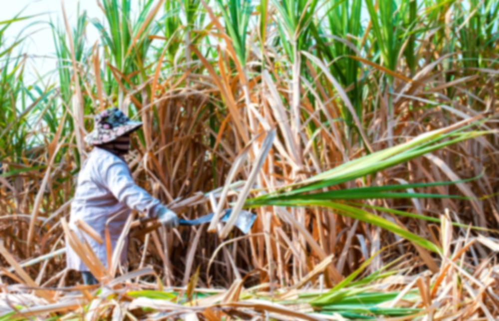 Mesmo com a queda na demanda por etanol, plantações de cana continuaram fortes. (Fonte: DeawSS/Shutterstock)