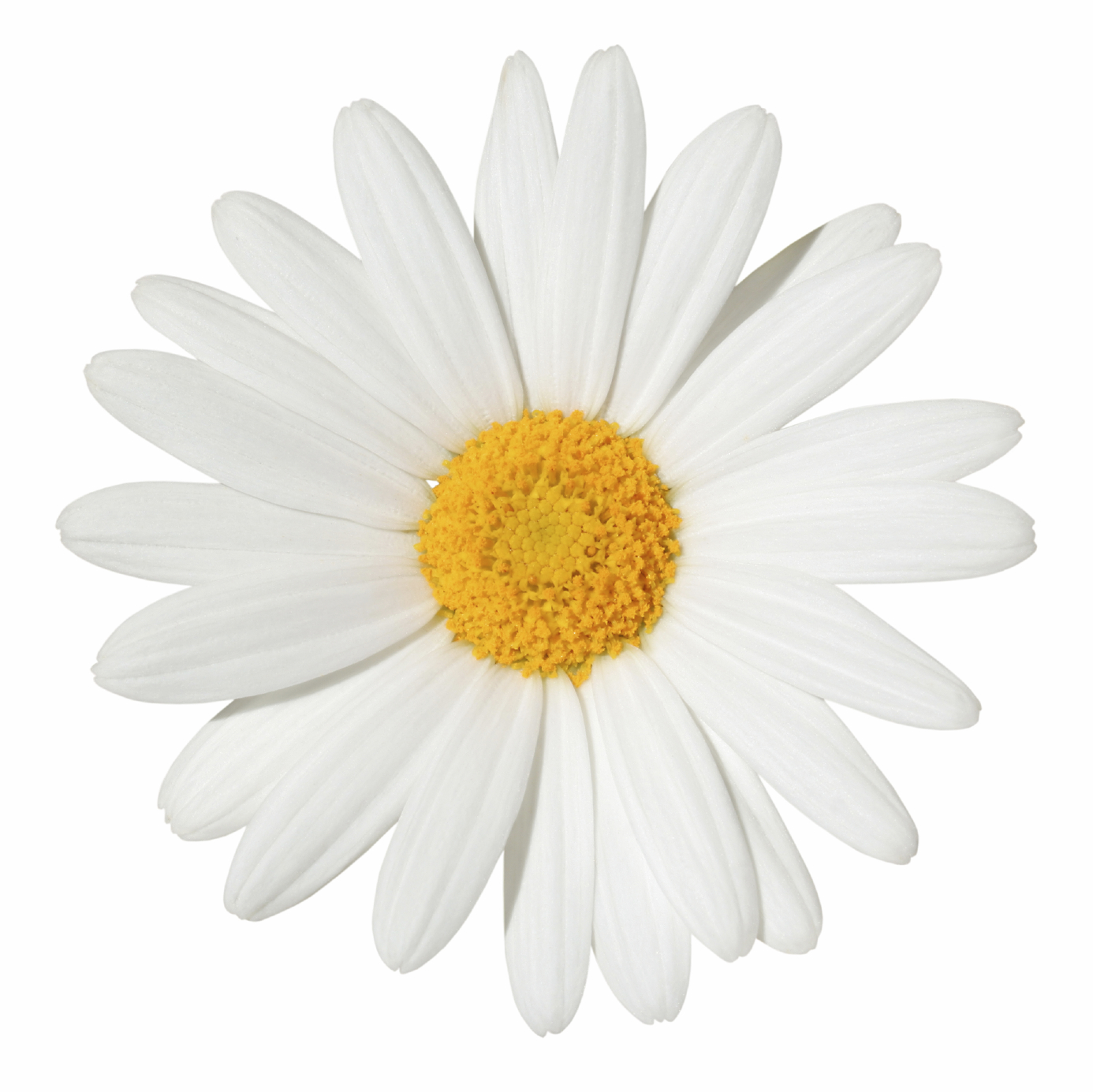 daisy-3.jpg