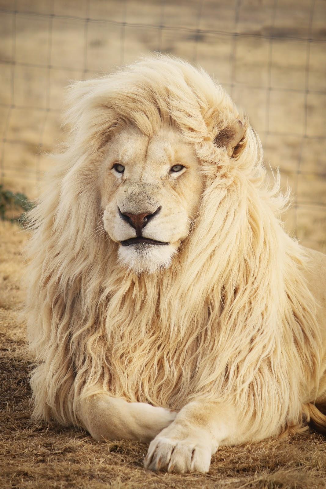 Lion portrait with mellow, yellow tones