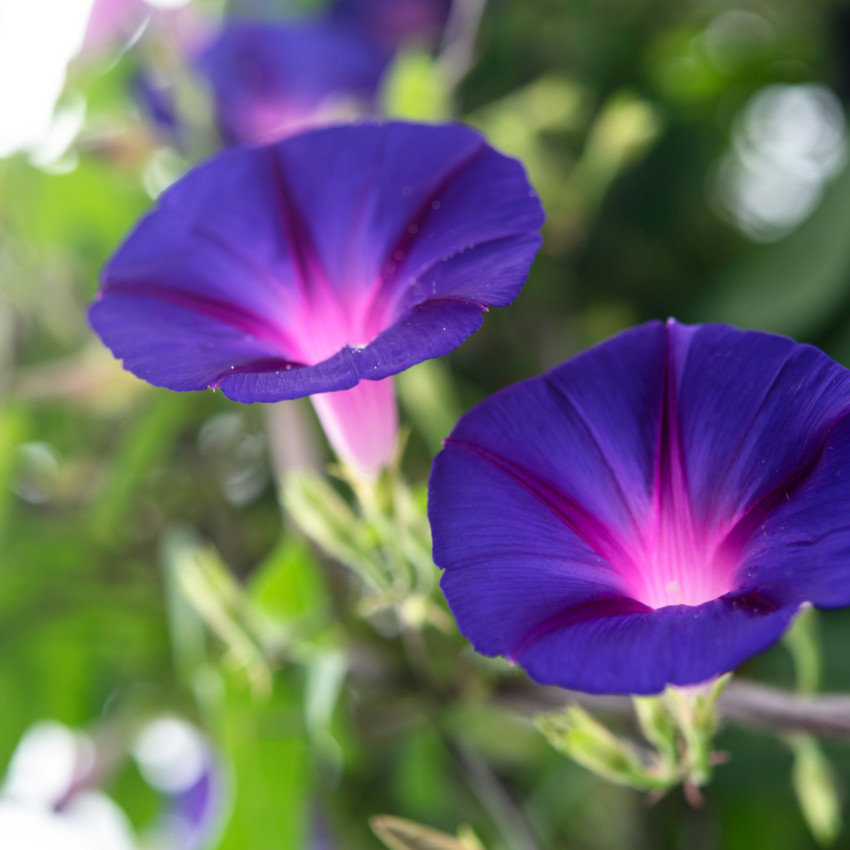 Morning glories can come in many different colors. Source: The Spruce