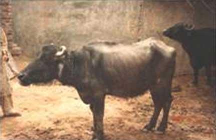 Búfala con baja condición corporal y cetosis.