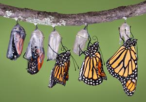 monarch-emerging.jpg