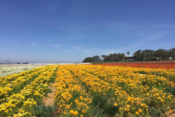 flower_fields_3.jpg