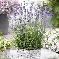 :Plant Images:Lavender Munstead.jpg